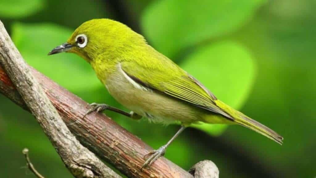 Top 10 Giống Chim Được Nhiều Người Thích Nuôi Nhất -  - chim cảnh 33