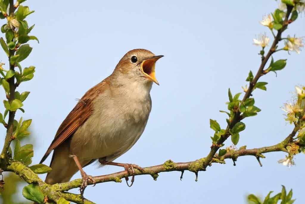 Top 10 Giống Chim Được Nhiều Người Thích Nuôi Nhất -  - chim cảnh 19