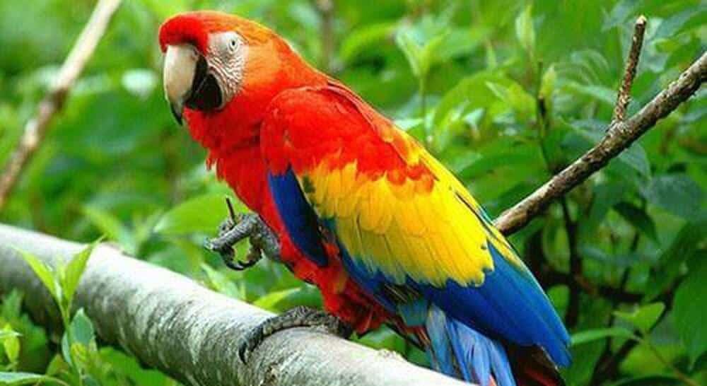 Top 10 Giống Chim Được Nhiều Người Thích Nuôi Nhất -  - chim cảnh 24