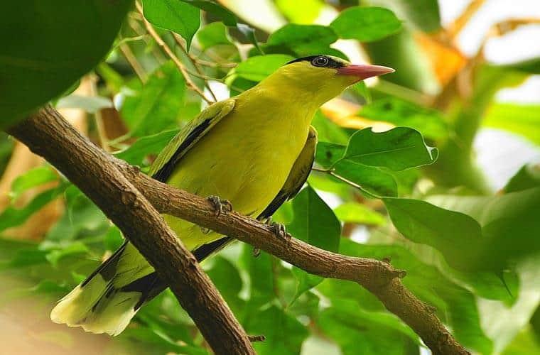 Top 10 Giống Chim Được Nhiều Người Thích Nuôi Nhất -  - chim cảnh 26