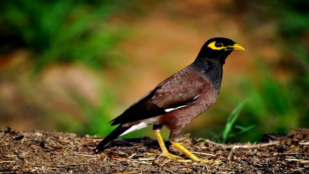 Top 10 Giống Chim Được Nhiều Người Thích Nuôi Nhất -  - chim cảnh 28
