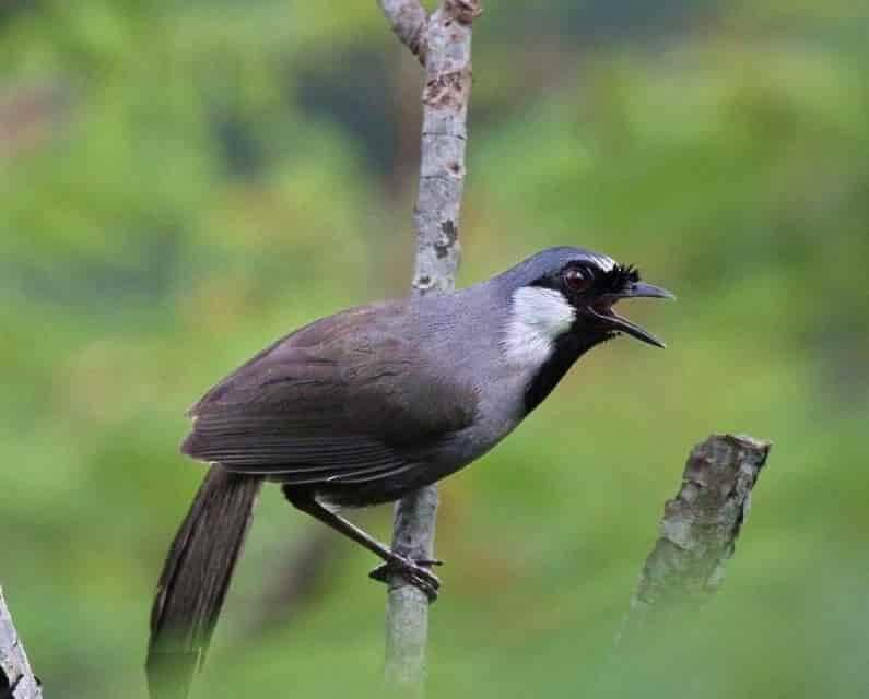 giống chim được nhiều người thích nuôi nhất