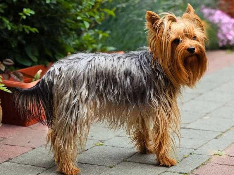 Top 10 Giống Chó Được Nuôi Nhiều Nhất Hiện Nay - - chó 17