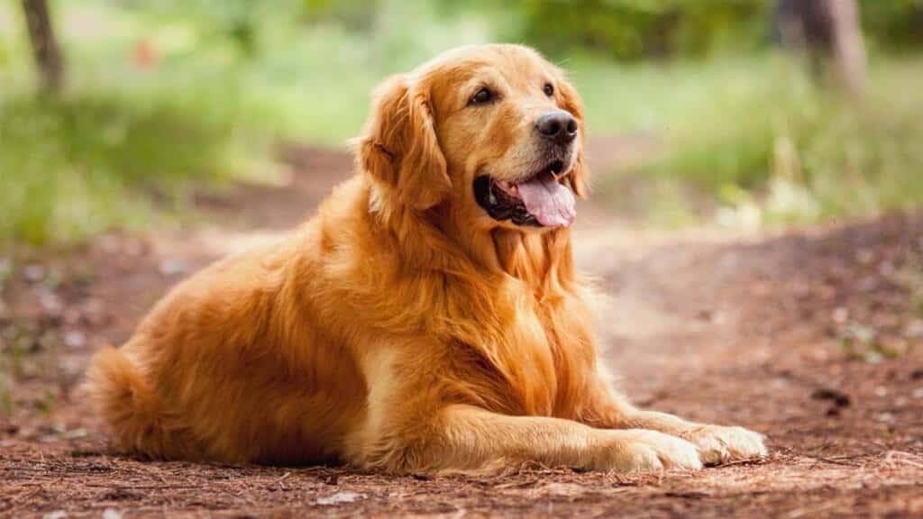 Top 10 Giống Chó Được Nuôi Nhiều Nhất Hiện Nay - - chó 20