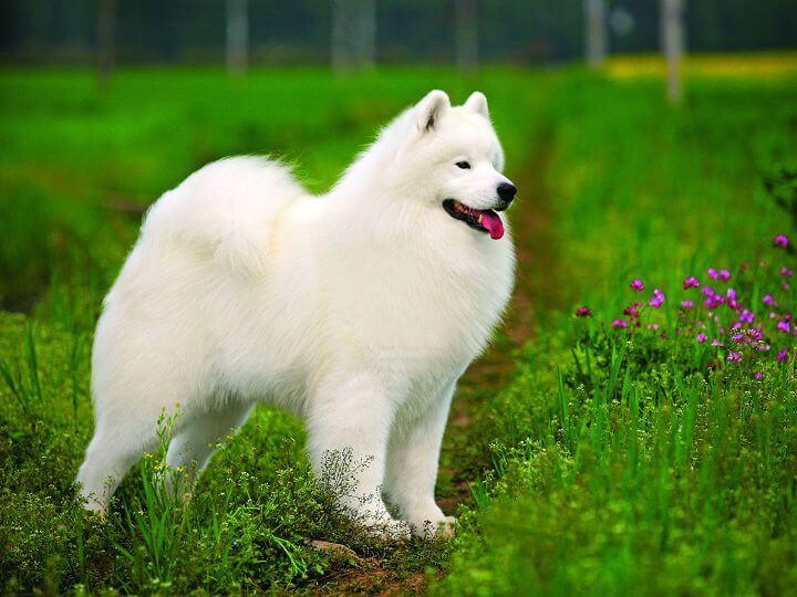 giống chó được nuôi nhiều nhất