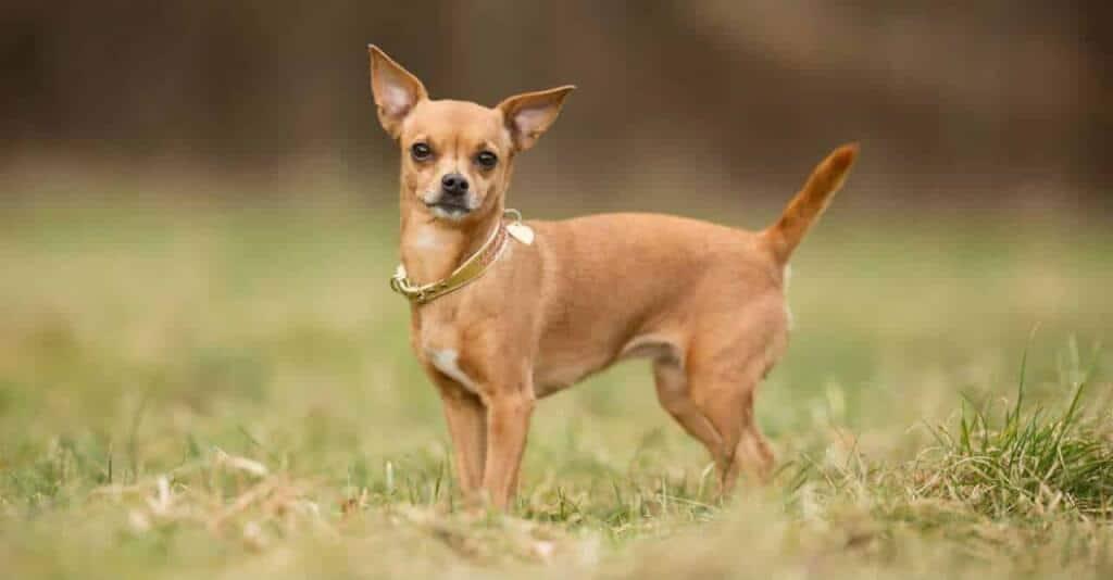 Top 10 Giống Chó Được Nuôi Nhiều Nhất Hiện Nay - - chó 24